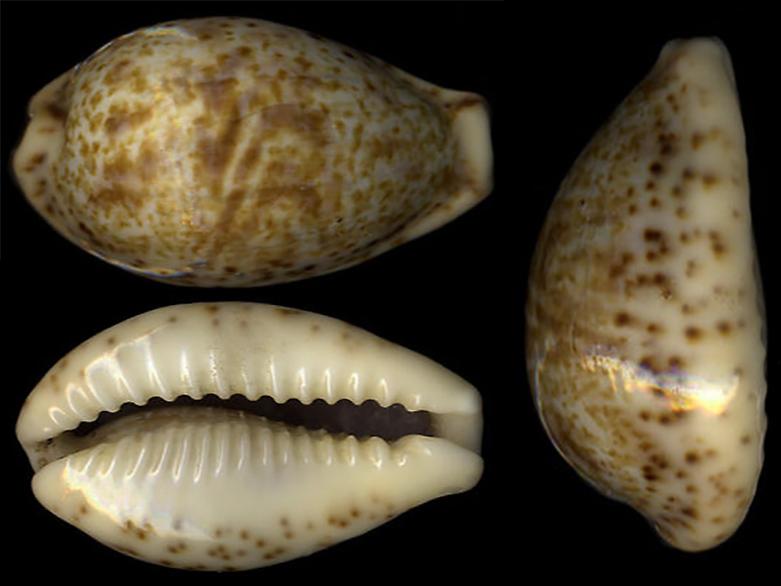 Palmadusta lentiginosa - (J.E. Gray, 1825) Palmad25