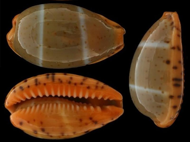 Palmadusta lutea - (Gmelin, 1791) Palmad26