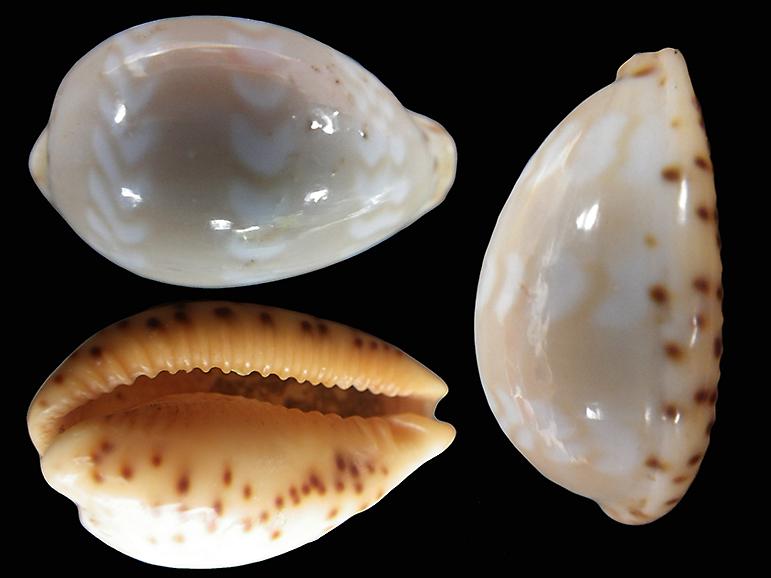 Palmadusta ziczac vittata - (Deshayes, 1831) Palmad27