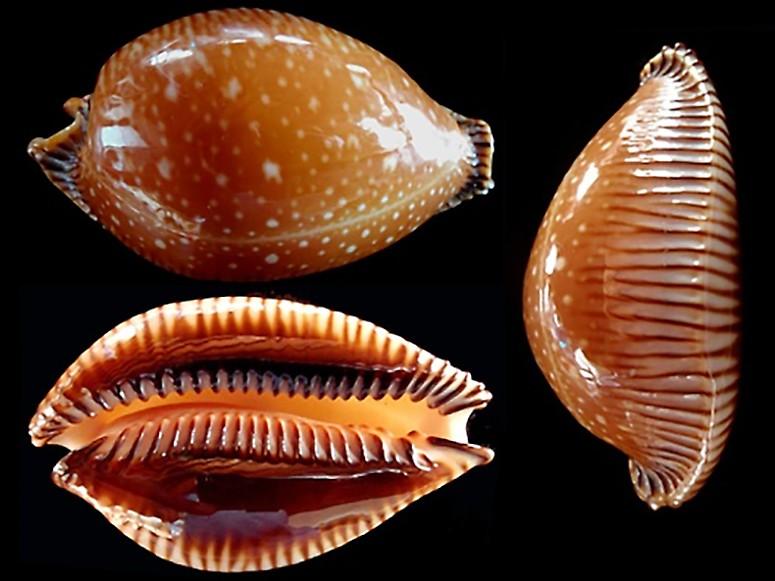 Perisserosa guttata surinensis - (Raybaudi, 1978) Periss11