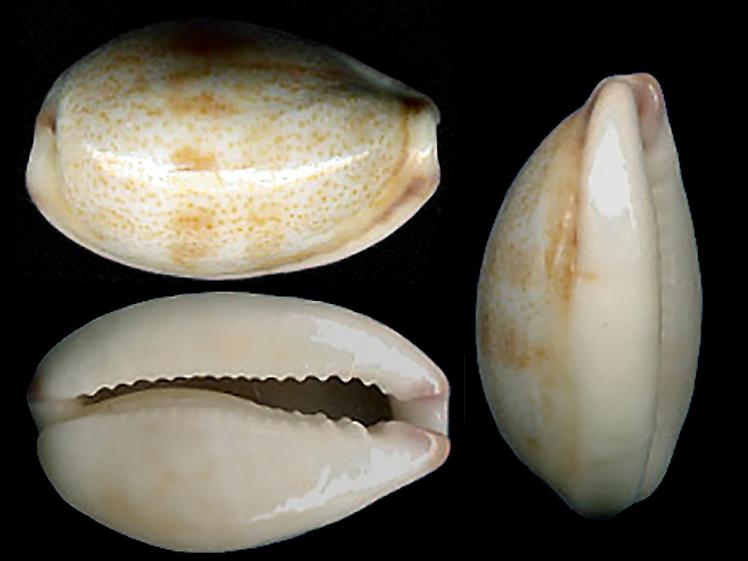 Purpuradusta fimbriata quasigracilis - Lorenz, 1989 Purpur11