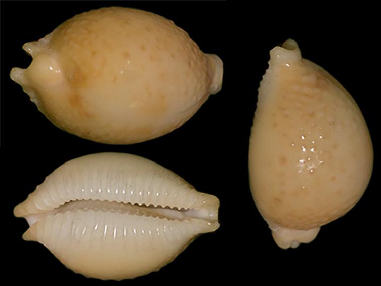 Pustularia cicercula cicercula - (Linnaeus, 1758) - Page 2 Pustul12