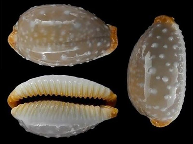 Staphylaea limacina facifer - (Iredale, 1935) Staphy10