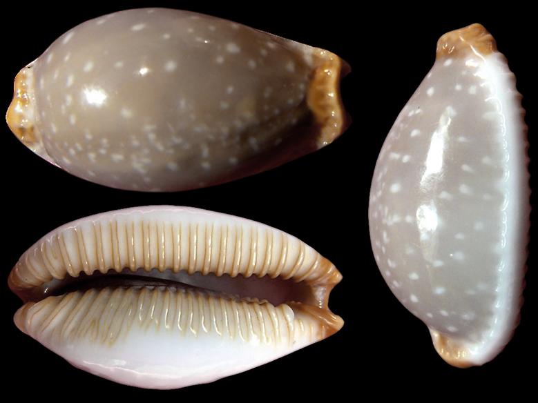 Staphylaea limacina interstincta - (Wood, 1828) Staphy11