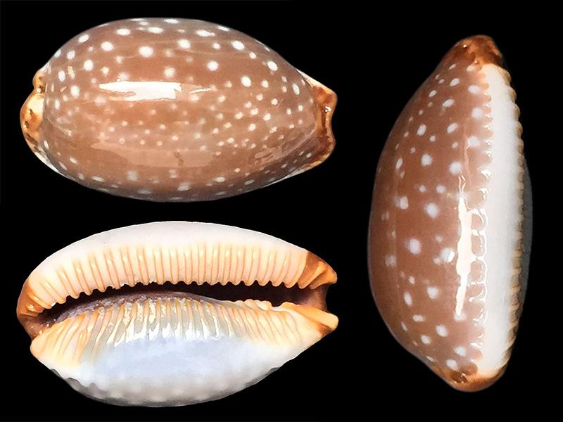 Staphylaea limacina limacina - (Lamarck, 1810) Staphy13