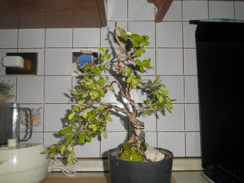 pianta di bosso - Pagina 2 P6070011