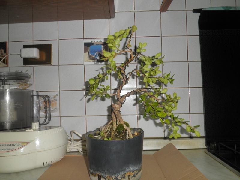 pianta di bosso - Pagina 2 P6070012