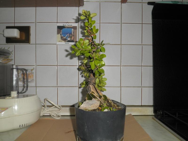 pianta di bosso - Pagina 2 P6070013