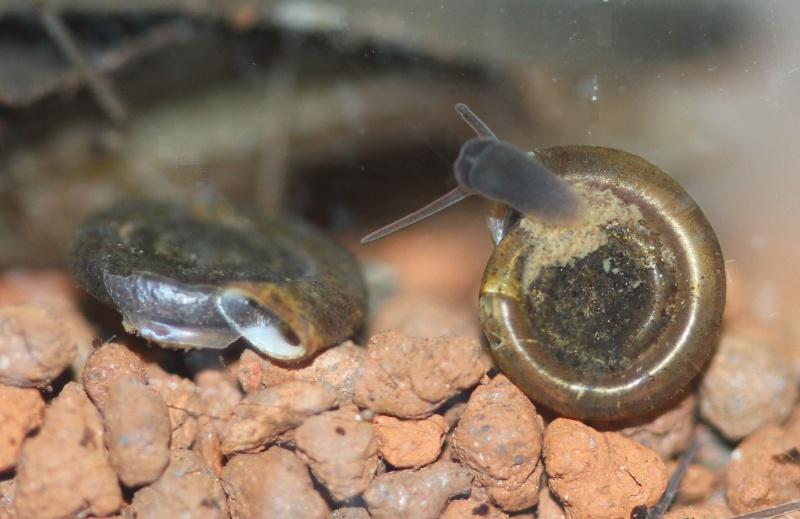 gastéropodes aquatiques Anisus10