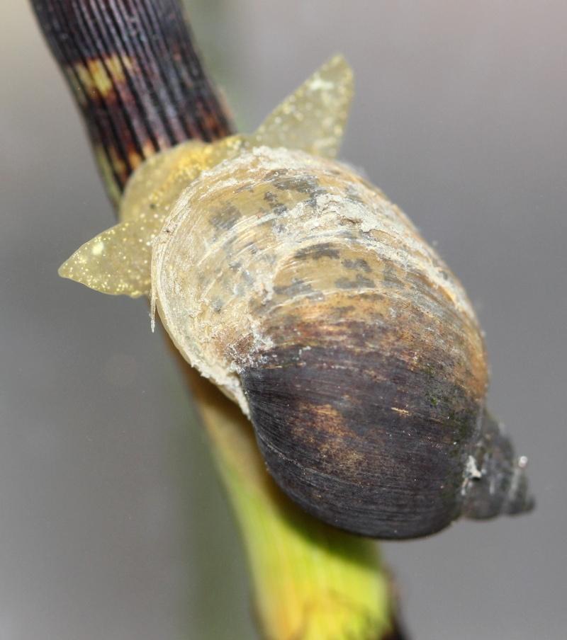 gastéropodes aquatiques Lymnae10