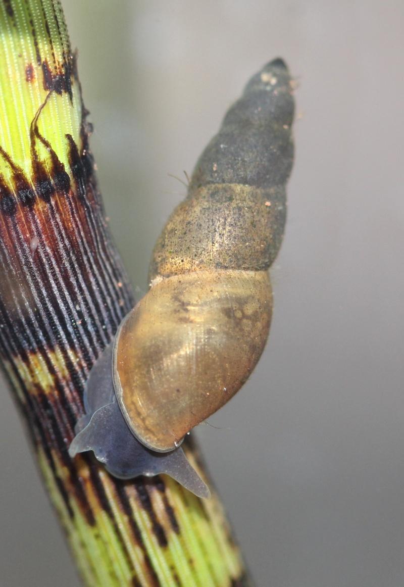 gastéropodes aquatiques Lymnae11