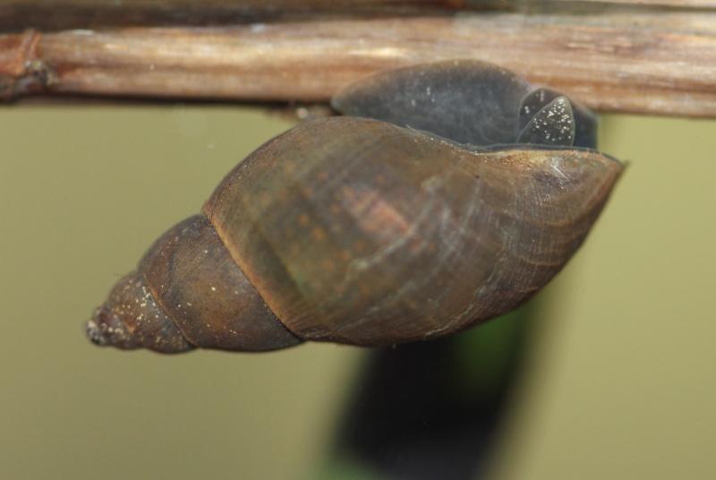 gastéropodes aquatiques Lymnae12