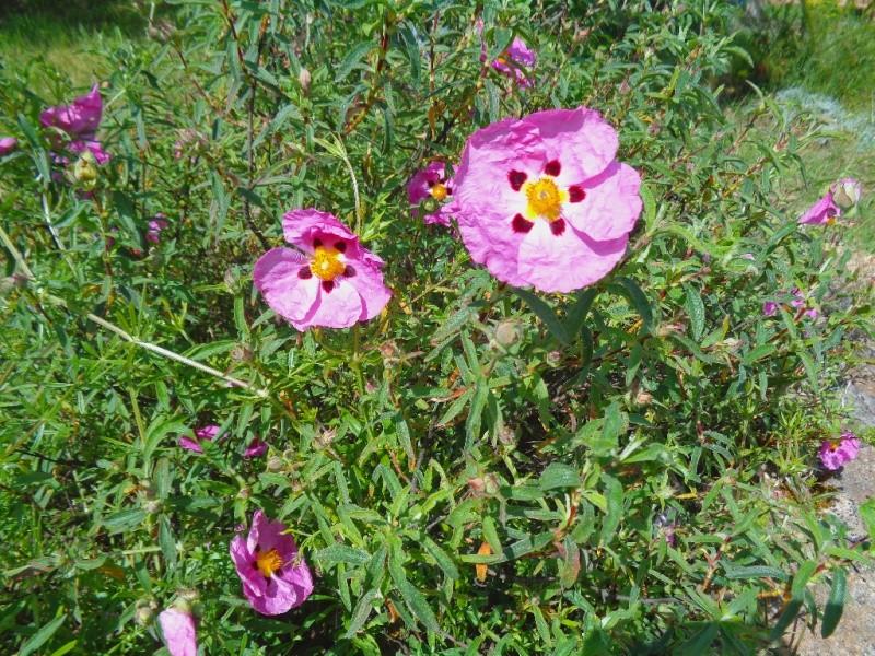 joli mois de mai, le jardin fait à son gré - Page 3 Ciste_10