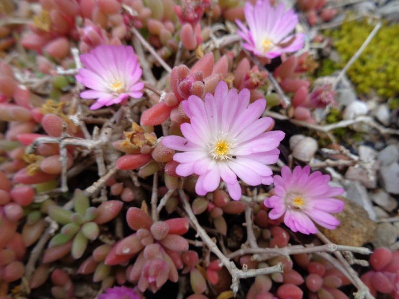 joli mois de mai, le jardin fait à son gré - Page 3 Delosp11