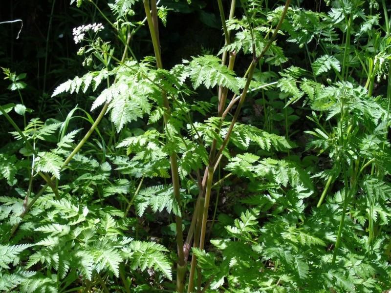 Anthriscus sylvestris - anthrisque des bois [identification] Dsc00821
