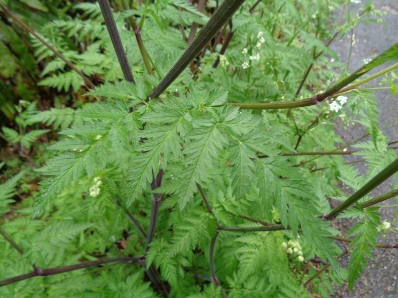 Anthriscus sylvestris - anthrisque des bois [identification] Dsc00830