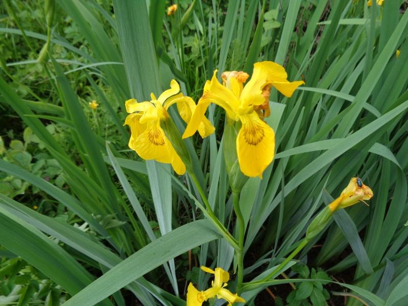 Iris pseudacorus - iris des marais  Dsc01015