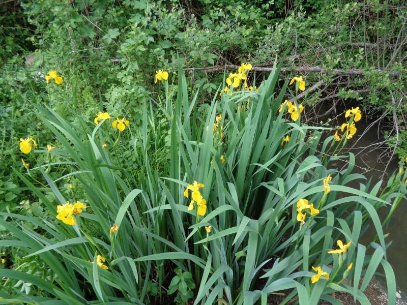 Iris pseudacorus - iris des marais  Dsc01016