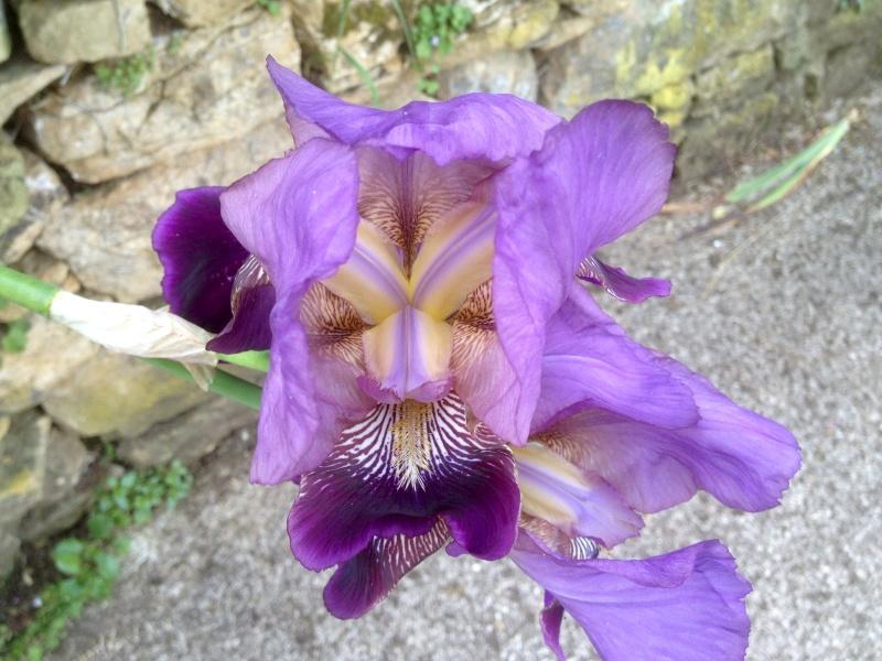 Floraisons 2016 de nos grands iris barbus et Bilan - Page 3 Img_2513