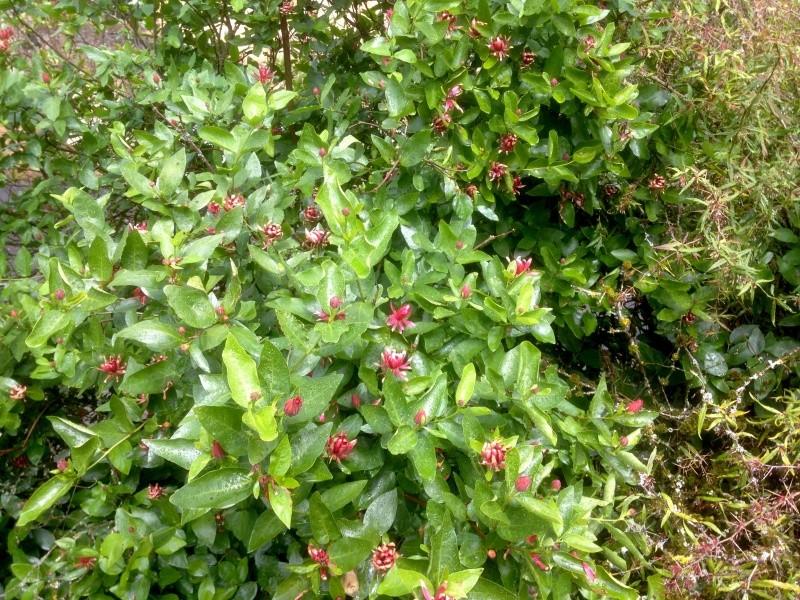 Calycanthus floridus - arbre aux anémones Img_2521