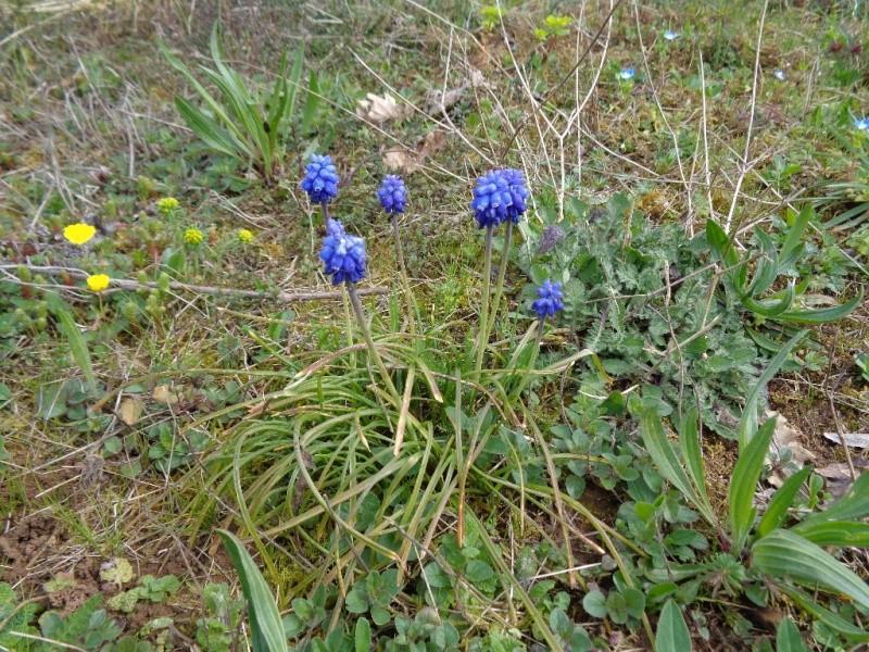 Prémices du printemps Muscar10