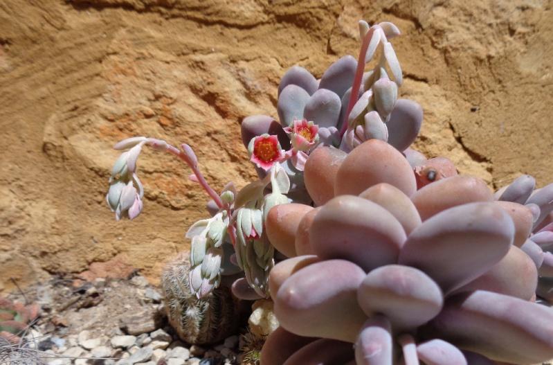 avril, jardin fébrile - Page 6 Pachyp10