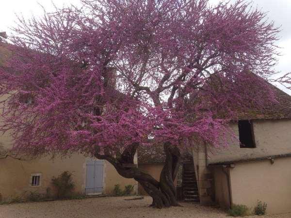 arbre de Judée........... Cercis siliquastrum - Page 2 13100810