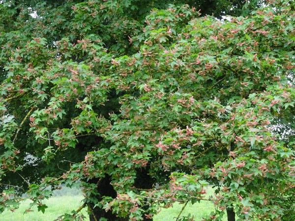 Acer campestre - érable champêtre Acer_c10