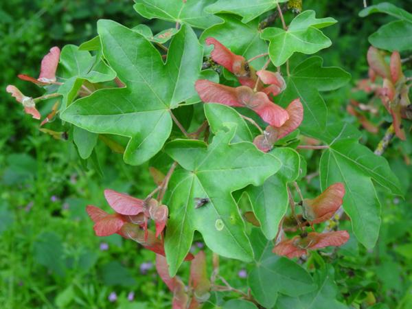 Acer campestre - érable champêtre Acer_c11