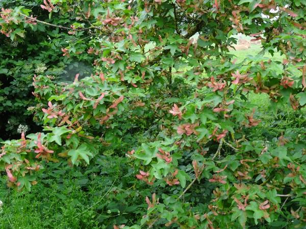 Acer campestre - érable champêtre Acer_c12