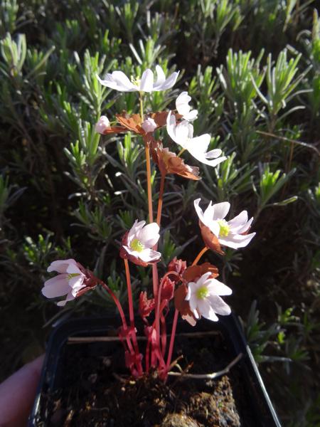 avril, jardin fébrile - Page 3 Anemon10