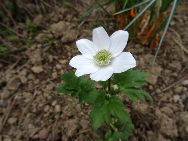avril, jardin fébrile - Page 5 Anemon13
