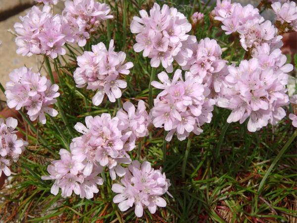 joli mois de mai, le jardin fait à son gré - Page 4 Armeri10