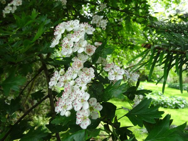 joli mois de mai, le jardin fait à son gré - Page 4 Aubypi10