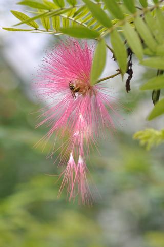 Calliandra haematocephala - arbre aux houpettes Callia10