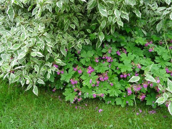 cadeaux du jardin, juin juin Gerani12