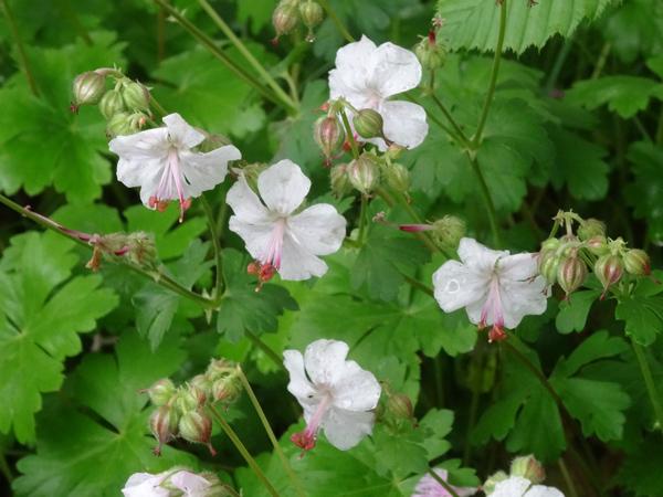 Geranium x cantabrigiense 'Biokovo' Gerani14