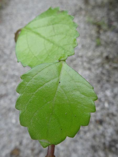 Plectranthus verticillatus [identification] Inconn10