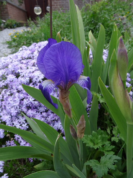 joli mois de mai, le jardin fait à son gré - Page 3 Iris10