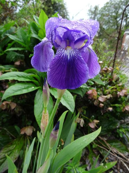 joli mois de mai, le jardin fait à son gré - Page 3 Iris11