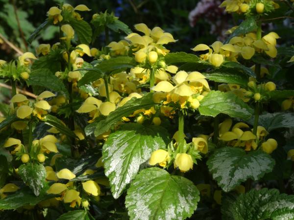 Lamium galeobdolon - lamier jaune, ortie jaune Lamium10