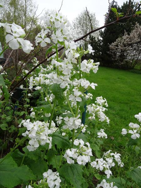 avril, jardin fébrile - Page 5 Lunair10