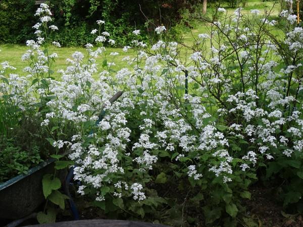 joli mois de mai, le jardin fait à son gré - Page 2 Lunair11