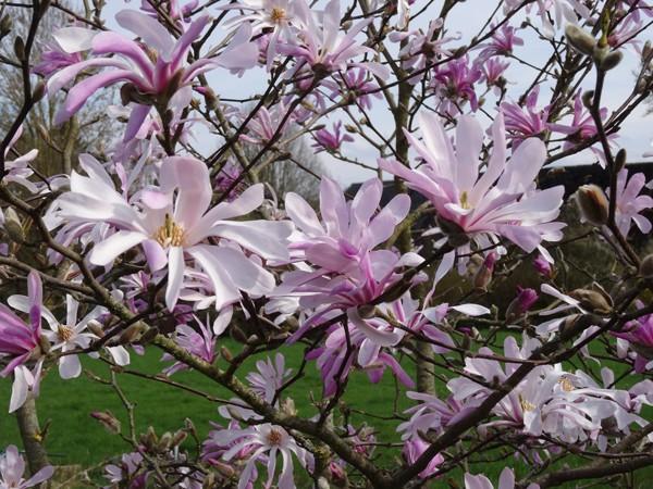 avril, jardin fébrile - Page 4 Magnol10