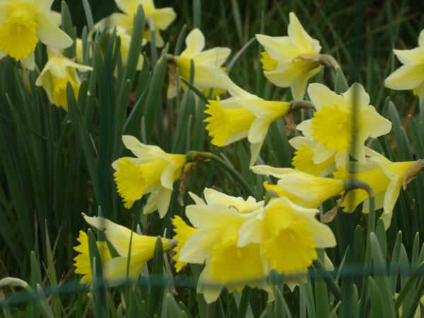 avril, jardin fébrile - Page 2 Narcis10