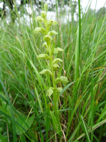 Dactylorhiza viridis (= Coeloglossum viride) Ob_2a710