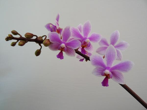 Phalaenopsis - hybrides primaires - Page 2 Phal_e10