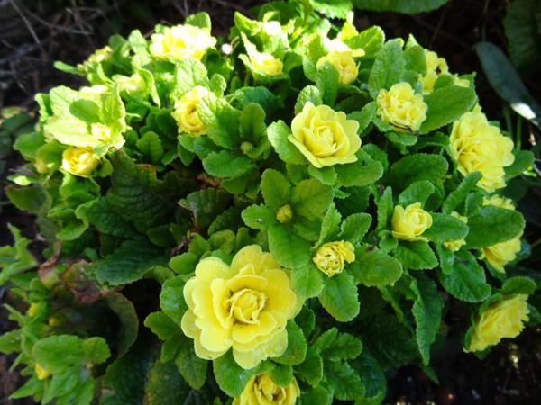 avril, jardin fébrile - Page 3 Primul10