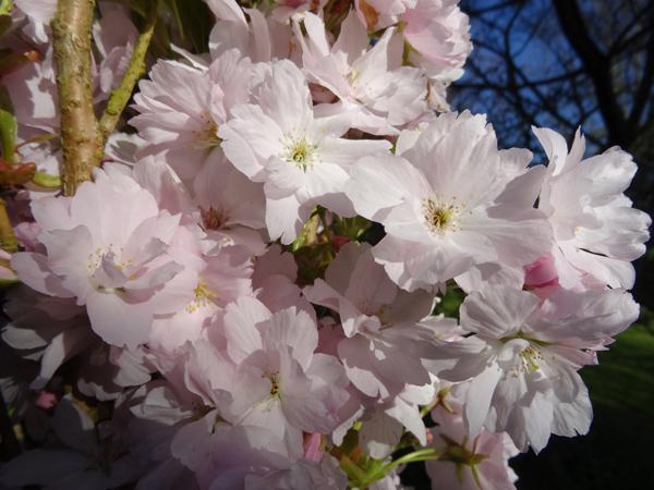 joli mois de mai, le jardin fait à son gré Prunus10