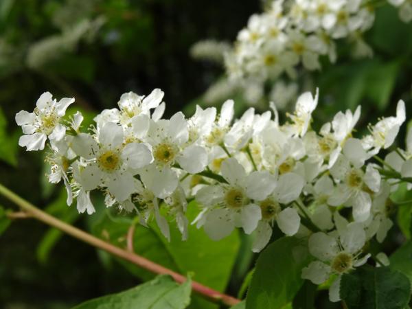 joli mois de mai, le jardin fait à son gré - Page 2 Prunus11